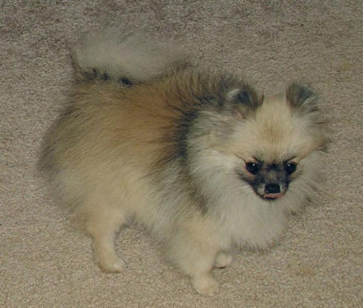 Beaver Creek Pomeranians ~Oregon~ Pearl